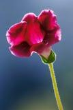 blommagloxiniamakro Royaltyfri Foto