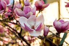 blommagnolia royaltyfri foto