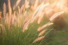 Blommagräs i solnedgångljuset Royaltyfri Fotografi