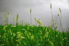 Blommagräs på den gråa sjön Arkivbild