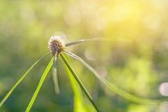 Blommagräs på kopplar av morgontid Arkivbilder