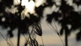 Blommagräs som flödar från vindslag på toddypalmträdet i solnedgång arkivfilmer