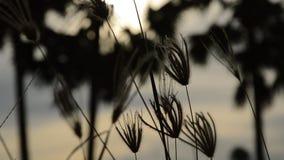 Blommagräs som flödar från vindslag på toddypalmträdet i solnedgång lager videofilmer
