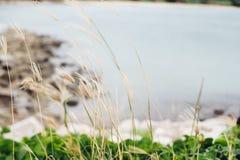 Blommagräs vid havsbakgrunden Royaltyfri Fotografi