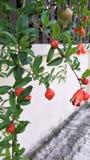Blommagranatäpplefrukt Fotografering för Bildbyråer