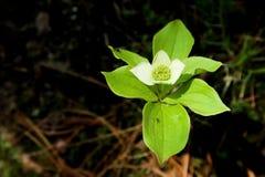 blommagreen Royaltyfri Fotografi