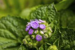 blommagreen låter vara purple Royaltyfri Foto