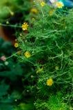 blommagreen låter vara yellow Fotografering för Bildbyråer