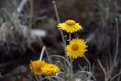 blommagreen låter vara yellow Arkivfoto