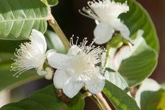 blommaguava Arkivfoton
