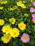 Blommaguling Arkivfoton
