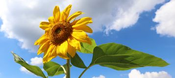 Blommaguling och gräsplan för solros härlig i bakgrund under sommar i Michigan royaltyfri foto