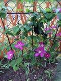Blommahatten växer väl i Ontario Arkivfoto