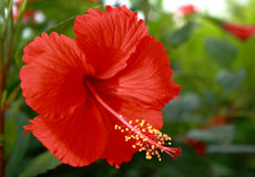 blommahibiskus Royaltyfri Foto