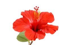 blommahibiskus Arkivfoto