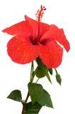 blommahibiskus Royaltyfri Fotografi