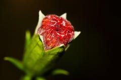 blommahibiskus Arkivfoton