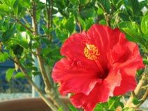blommahibiskus Royaltyfri Bild