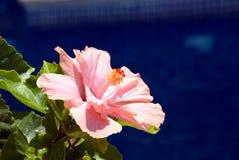 blommahibiskus Fotografering för Bildbyråer
