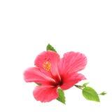 Blommahibiskus som isoleras på vit bakgrund Royaltyfria Foton