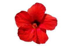 blommahibiskusred Royaltyfri Foto