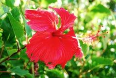 blommahibiskusred Royaltyfri Fotografi