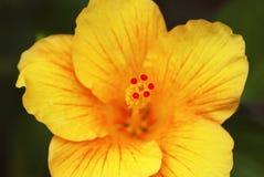 blommahibiskusyellow Royaltyfria Foton