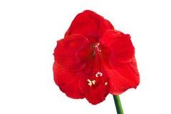 blommahippeastrum Arkivfoton