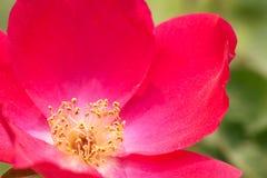 blommahjärta Royaltyfri Bild