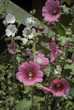 BlommaHolly Hock Hollyhock vit och rosa färger i trädgården arkivbilder