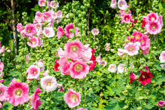BlommaHolly Hock Hollyhock vit och rosa färger i trädgården royaltyfri fotografi