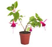 Blommahouseplants i blomma lägger in, isolerat Arkivfoton
