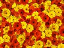blommahuvud Royaltyfri Foto