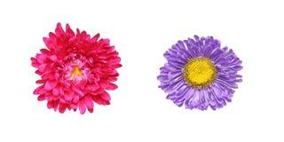 Blommahuvud av aster Fotografering för Bildbyråer
