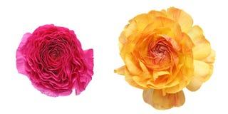Blommahuvud av den persiska smörblomman Arkivfoto
