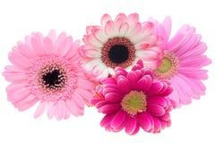 Blommahuvud av den transvaal tusenskönan Royaltyfria Bilder
