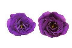 Blommahuvud av eustomaen Royaltyfri Foto