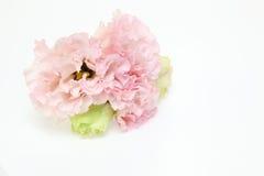 Blommahuvud av eustomaen Royaltyfria Bilder