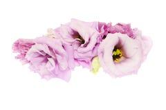 Blommahuvud av eustomaen Fotografering för Bildbyråer