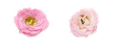 Blommahuvud av eustomaen Royaltyfri Bild