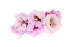 Blommahuvud av eustomaen Arkivbilder