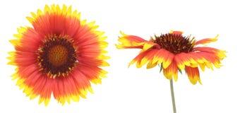 Blommahuvud av Firewheel Arkivfoto