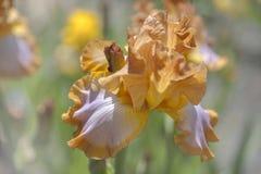 Blommahuvud av högväxta skäggiga Iris Ginger Swirl royaltyfri fotografi