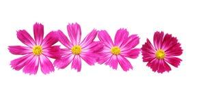 Blommahuvud av kosmos Royaltyfri Foto