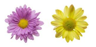 Blommahuvud av krysantemumet Arkivfoto