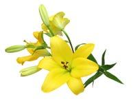 Blommahuvud av liljan Royaltyfri Bild