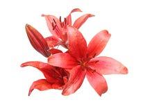 Blommahuvud av liljan Royaltyfria Bilder