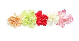 Blommahuvud av nejlikan Royaltyfri Bild