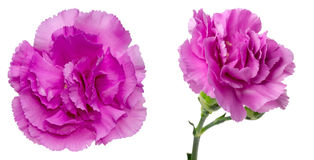 Blommahuvud av nejlikan Arkivbild