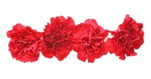 Blommahuvud av nejlikan Royaltyfri Foto